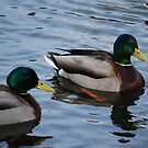 Mallards on Como Lake by Carol Clifford