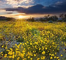Mojave Poppies at Sunrise by Joshua  Cripps