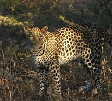 Leopard in the evening sun by John Banks