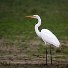 Great Egret by Micci Shannon