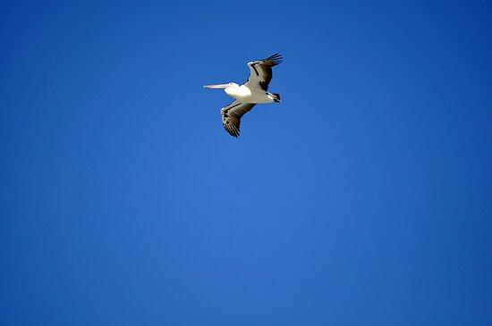 PELICAN IN FLIGHT by niki78