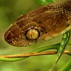 Boiga irregularis - Brown tree snake by Jessica Hacking