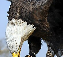 Bald Eagle with lure by buttonpresser