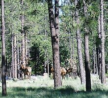 Elk 3- In search of the best grass by prettymeadow