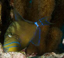 Queen triggerfish, Little Cayman, 2008 by jackmbernstein