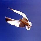 Gull in Flight - mid flap by Tazfiend