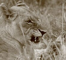 Sepia snarl by John Banks