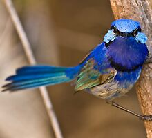 Watchful Eyes - Splendid Blue Wren by Karen Willshaw