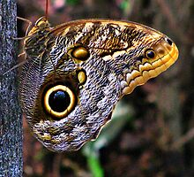 Caligo Butterfly by shutterbug2010