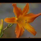 Day Lilly    (alterNATpics) by alternatpics