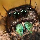 Phidippus audax around 3.5X life size by Scott Thompson