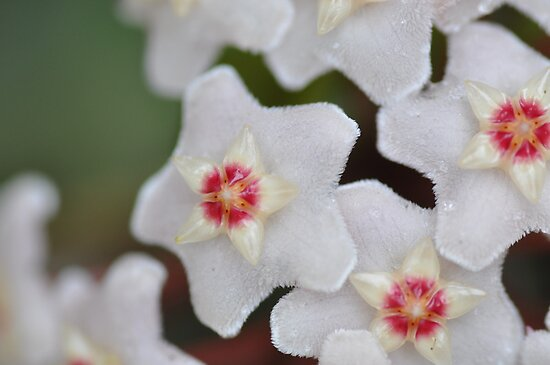 Hoya in Bloom by Brandie1