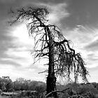 Native Pine Australia by jembot