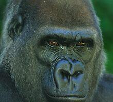Western Lowland Gorilla Up Close by Tom Grieve