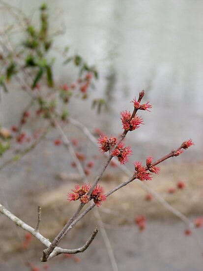 Maples Are Blooming!! by NatureGreeting Cards ©ccwri