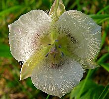 Cat's Ear..... Mariposa Lily by bicyclegirl