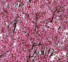 Cherry Blossoms - Central Avenue - Hot Springs, AR by Lee Hiller
