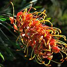 Superb Grevillea by bevanimage
