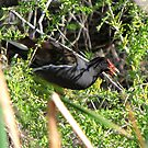 Common Moorhen ~ In a Tree ☺ by Kimberly Chadwick