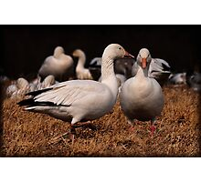 Gossiping Geese Photographic Print