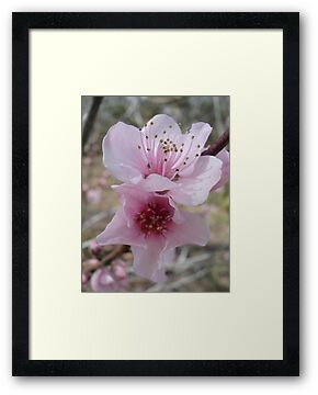 Plum Blossoms by May Lattanzio