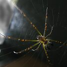 Juvenile Orb Weaver by Gryphonn