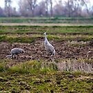 Sandhill Crane by flyfish70