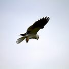 White - Tailed Kite by flyfish70