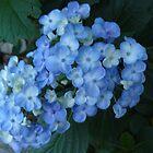 Blue Hydrangea by Portia Greenwood