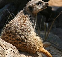 Meerkat (S. suricatta) by Scott  Dyer