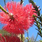 Bright Bottle Brush by ellismorleyphto