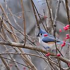 Titmouse Amid Red Berries by mltrue