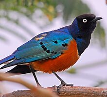 """Superb Starling"" Ethiopia by Marieseyes"
