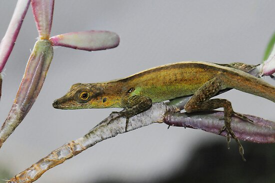 ST. VINCENT ANOLIS by mc27