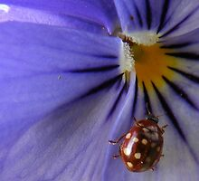 Purple pansy by ElsT