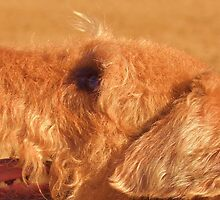 Airedale watching command by Thomas Stevens