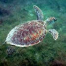 Swimming Hawksbill Turtle by Bob Webb
