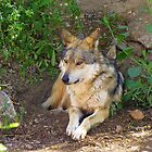 Mexican Grey Wolf ~ II  by Kimberly P-Chadwick