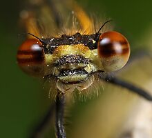 Large red damselfly by Scott Thompson