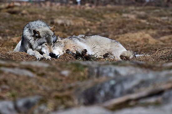 Timberwolf Pair  by Michael Cummings