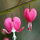 Bleeding Heart by Tracy Riddell