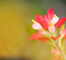 Paintbrush - Solitary Bloom by bullsAndPei