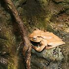 Borneo Eared Frog by Laurel Talabere