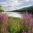 Loosestrife on the Juniata by jimHphoto