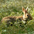 """wabbit"" by jimHphoto"