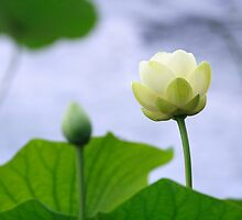 The Lotus by jimHphoto