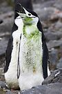 "Chinstrap Penguin ~ ""For the love of Saint Patrick"" by Robert Elliott"