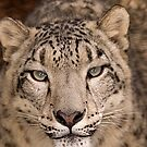 Snow Leopard portrait by buttonpresser