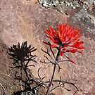 Indian Paintbrush & Shadow by Kim Barton