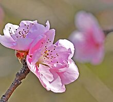 Peach Tree Flowers by Nick Conde-Dudding